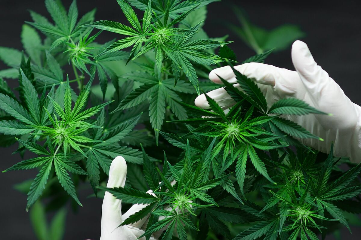marihuana medicinal para enfermedades crónicas